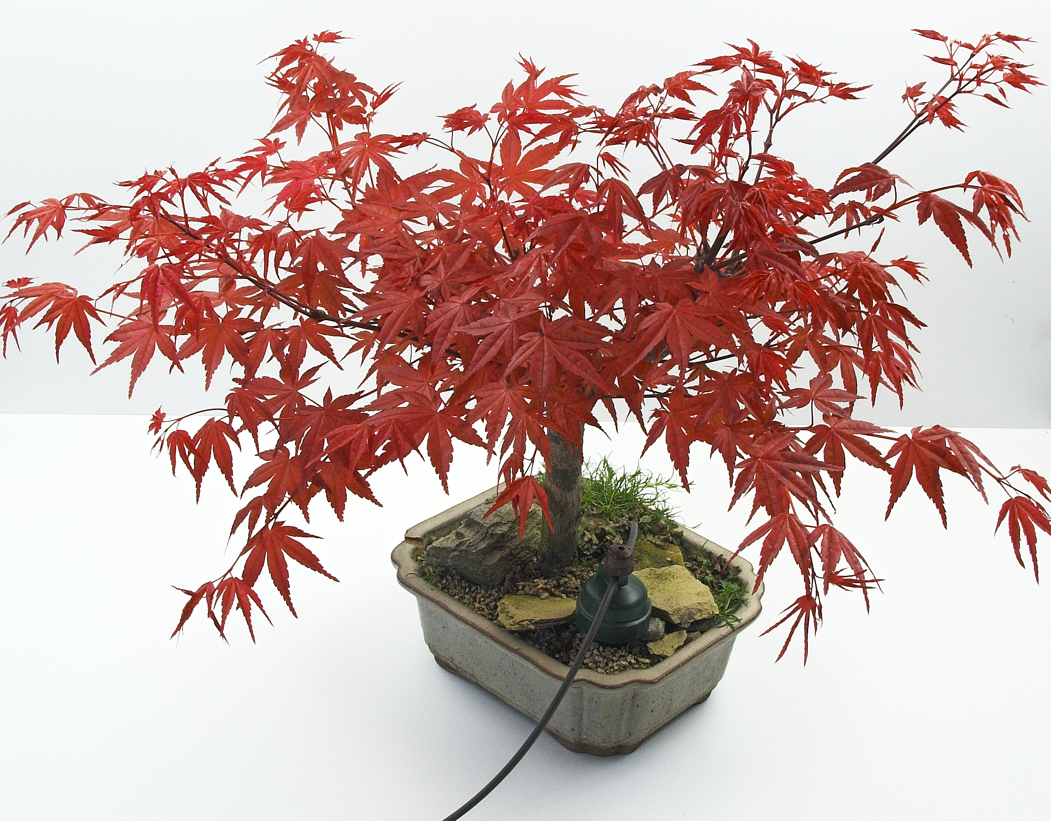 Acer palm